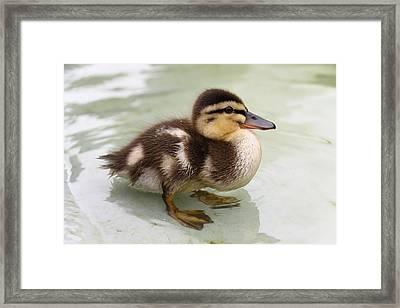 Mallard Duckling Wading Framed Print by Stephen Athea