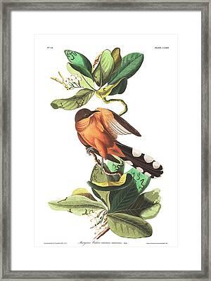 Mangrove Cuckoo Framed Print