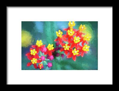Showy Milkweed Framed Prints