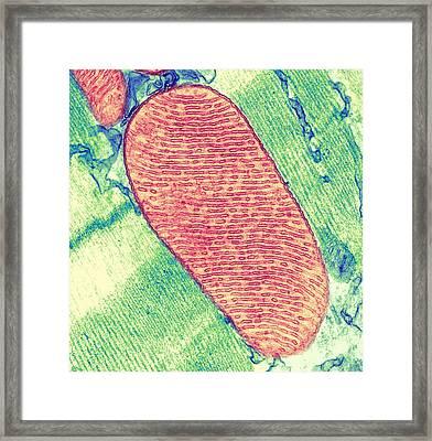Mitochondrion, Tem Framed Print