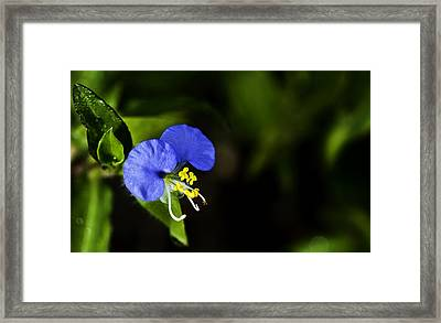 Morning Glory Framed Print by Sarita Rampersad