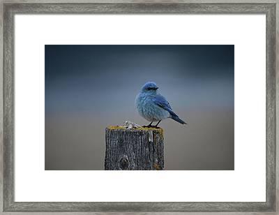Mountain Bluebird 2 Framed Print