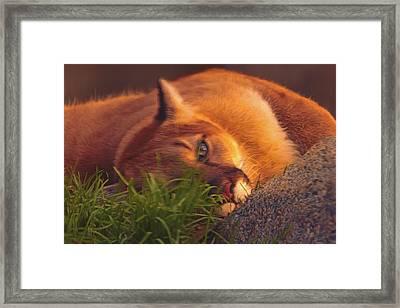 Mountain Lion  Framed Print
