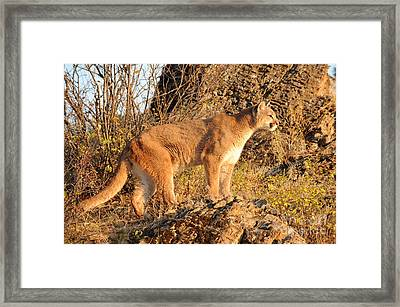 Mountain Lion Framed Print by Dennis Hammer