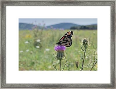 Mountain Meadow Monarch Framed Print by Randy Bodkins