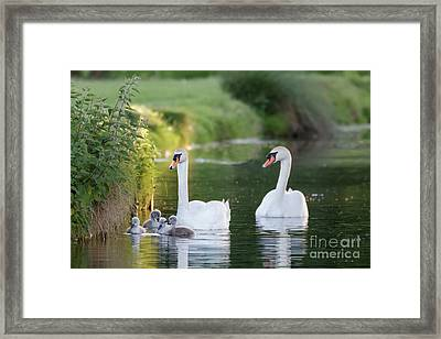 Framed Print featuring the photograph Mute Swan - Cygnus Olor - Adult And Cute Fluffy Baby Cygnets, Swim by Paul Farnfield