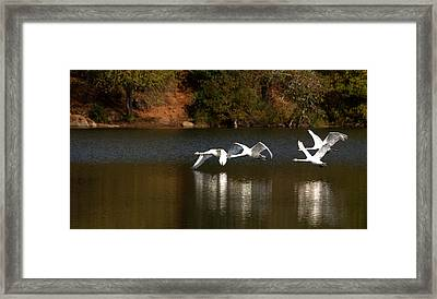 Mute Swans In Flight Over The Lake Framed Print by Roy Williams