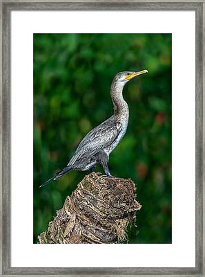 Neotropic Cormorant Phalacrocorax Framed Print