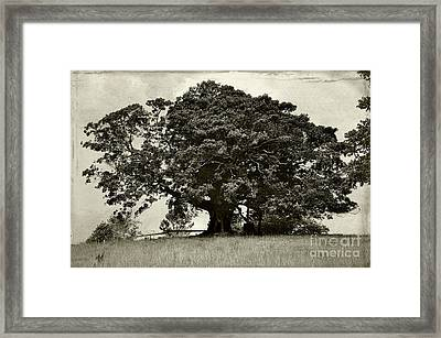 Old Fig Tree Framed Print by Kaye Menner