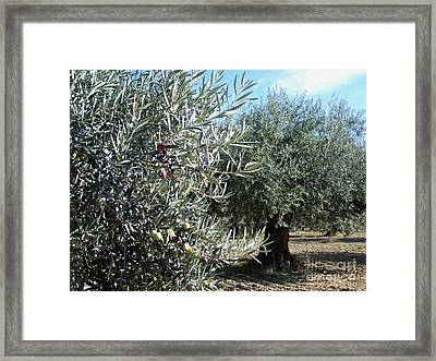 Olive Trees Framed Print by Judy Kirouac