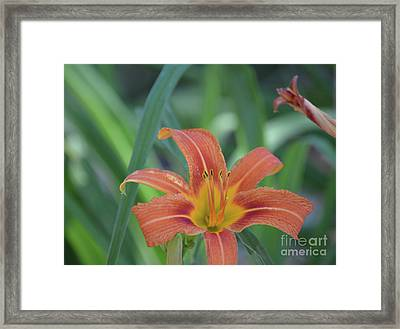 Orange Daylily Framed Print by Ruth Housley