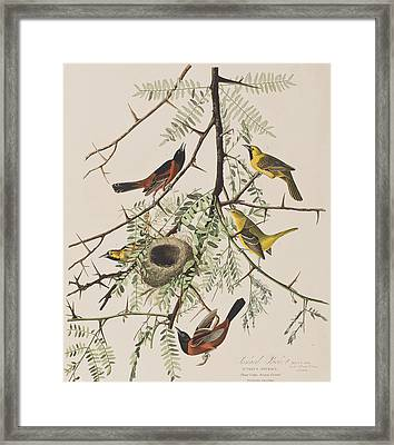 Orchard Oriole Framed Print by John James Audubon