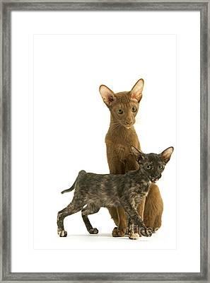 Oriental Cat And Kitten Framed Print by Jean-Michel Labat