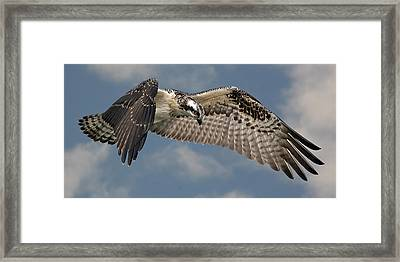 Osprey Flight Framed Print by Larry Linton
