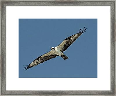 Osprey  Framed Print by Rosanne Jordan