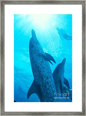 Pair Of Spotted Dolphins Framed Print by Ed Robinson - Printscapes