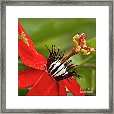 Passionate Flower Framed Print
