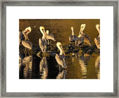 Pelicans Framed Print by Marc Bittan
