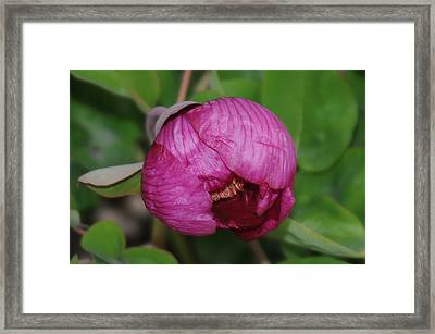 Peony Framed Print by Patrick  Short