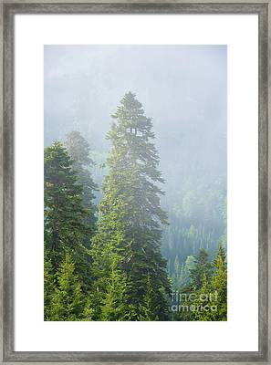 Pine Tree Framed Print by Svetlana Sewell