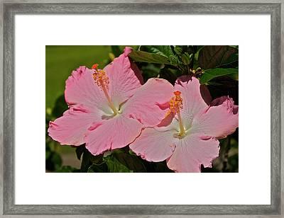 2 Pink Hibiscus Framed Print by Eddie Freeman