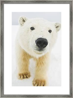Polar Bear  Ursus Maritimus , Curious Framed Print