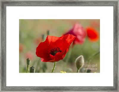 Poppies In Field In Spring Framed Print by Perry Van Munster