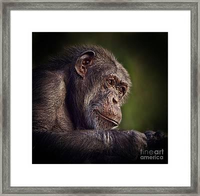 Portrait Of An Elderly Chimp II Framed Print
