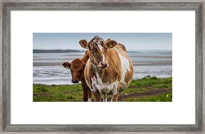 Portrait Of Cows Grazing, Iceland Framed Print