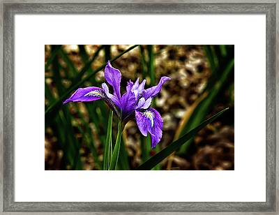Purple Iris Framed Print by Camille Lopez