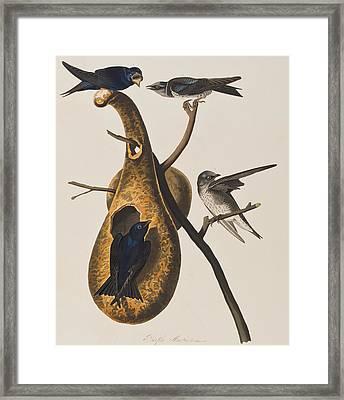 Purple Martin Framed Print by John James Audubon