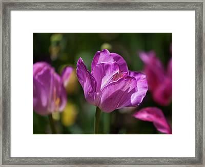 Purple Tulip Framed Print by Robert Ullmann