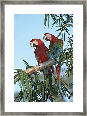 Red And Green Macaw Ara Chloroptera Framed Print by Konrad Wothe