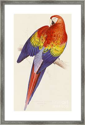 Red And Yellow Macaw Framed Print