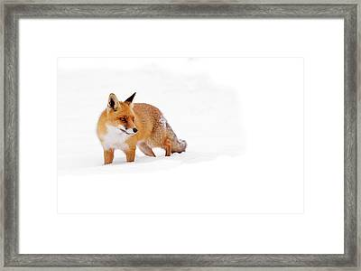 Red Fox In A White World Framed Print
