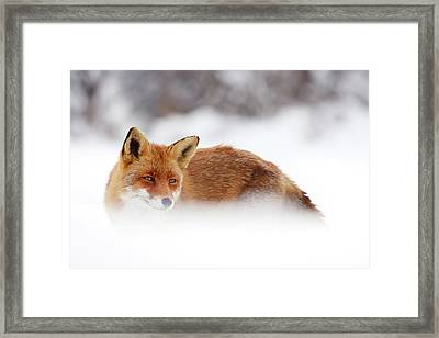 Red Fox In The Snow Framed Print