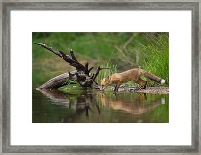 Red Fox Framed Print by Milan Zygmunt