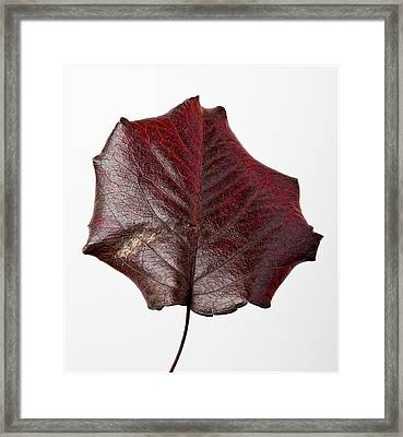 Red Leaf 4 Framed Print by Robert Ullmann
