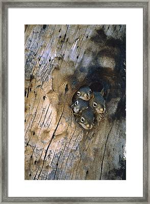 Red Squirrel Tamiasciurus Hudsonicus Framed Print by Michael Quinton