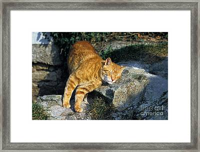 Red Tabby Cat Framed Print by Gerard Lacz