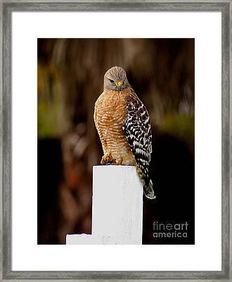 Red Tail Hawk Framed Print by Marc Bittan