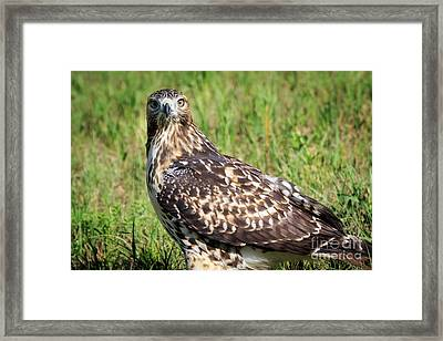 Red-tail Portrait Framed Print
