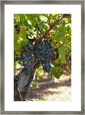 Framed Print featuring the photograph Red Vines by Ulrich Schade