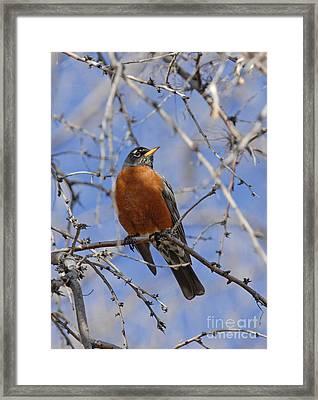 Robin Framed Print by Dennis Hammer