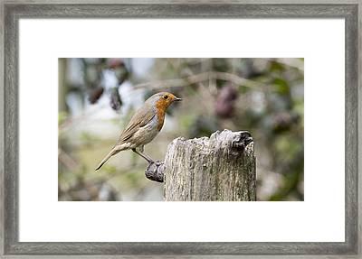 Robin Framed Print by Steven Poulton