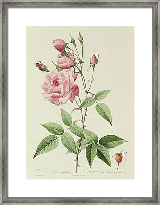 Rosa Indica Vulgaris Framed Print