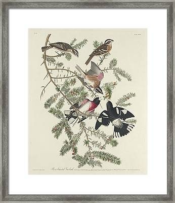 Rose-breasted Grosbeak Framed Print by Rob Dreyer