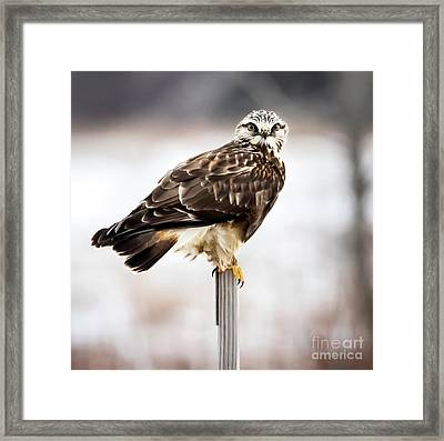 Framed Print featuring the photograph Rough-legged Hawk by Ricky L Jones