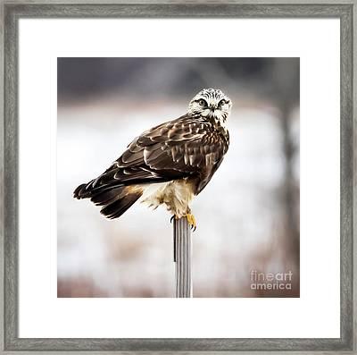Rough-legged Hawk Framed Print by Ricky L Jones