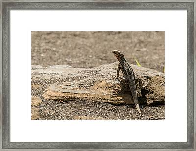 Santiago Lava Lizard Framed Print by Harry Strharsky